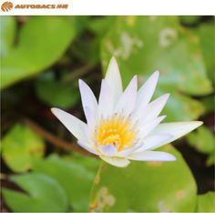 美しい睡蓮の花 糸満の民家に咲いていました。 その花言葉は「純粋」「潔白」。 清らかな印象でひときわ目立って いました。