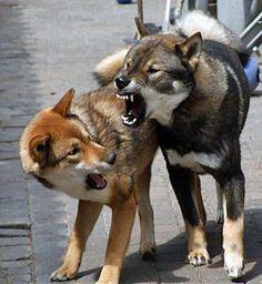 Shikoku dogs.