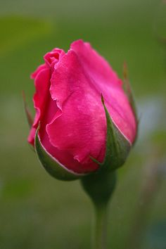 Saucy Pink Rose bud