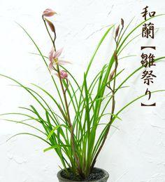 """【楽天市場】【和蘭 """"雛祭り"""" 信楽焼の和柄陶器植え】:花と観葉植物のChouchou,te"""