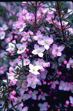 Boronia 'Sunset Serenade' Photographer: PlantGrowers ANBG Photo No. Australian Native Garden, Australian Native Flowers, Australian Plants, Trees And Shrubs, Flowering Trees, Trees To Plant, Spring Flowers, Wild Flowers, African Plants