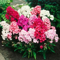 Phlox – Mix 'Phlox it up' – wurzelnackt Windsor, Floral Wreath, Glow, Wreaths, Flowers, Plants, Up, Products, Hardy Perennials