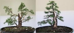 Dwarf Alberta Spruce - Before and After