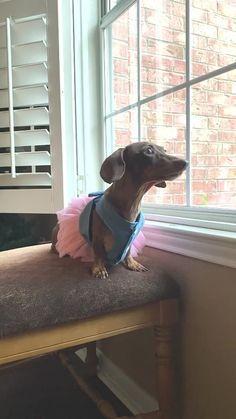 Funny Dachshund, Dachshund Love, Dachshunds, Cute Funny Animals, Dog Cat, Thailand, The Unit, Wiener Dogs, Tiktok Watch