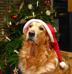 Christmas dog waiting for treats!