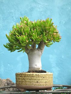 The succulent, Crassula, being grown bonsai style- I wonder how old this is-fantastic succulent bonsai!