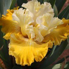 Tall Bearded Iris 'Carmel Dreams'