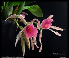 Trichopilia ramonensis. A species orchid (color) - photo  by QT Luong