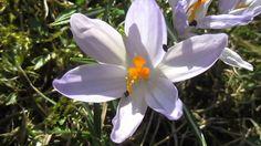 Весенние Цветы. Крокус. Полесье. Украина (Nature. Crocus)