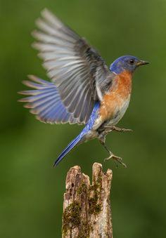All Birds of North America Birds Of America, North America, America 2, Merle, Bird Wings, All Birds, Tile Art, Beautiful Birds, Beautiful Things