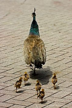 A Peahen With Her Peachicks.