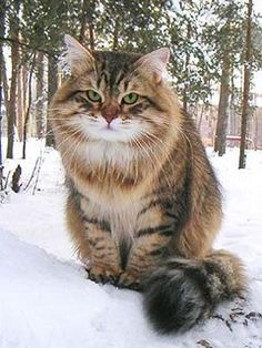 Russian Siberian Cat- so stinking adorable!!!