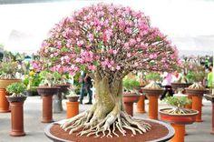 Adenium Obesum Bonsai | Home Garden and Landscaping