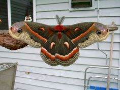 Cecropia Moth is a beautiful creature seldom seen by the average citizen. It's life span as an adult is usually less than a week