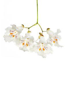 catalpa blossoms (mary jo hoffman)