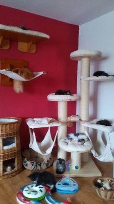 U nás doma | FELINA MONDO - MAINE COON CATTERY
