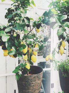Citronträd. Lemon tree. http://camillalola.devote.se