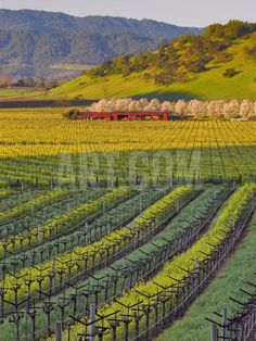 Spring Mustard Flowers in Screaming Eagle Vineyard, Napa Valley, Napa County, California, Usa Photographic Print by Janis Miglavs at Art.com