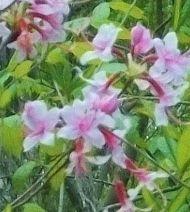Pinxterflower (wild rhododendron)
