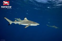 Blacktip sharks in Moorea