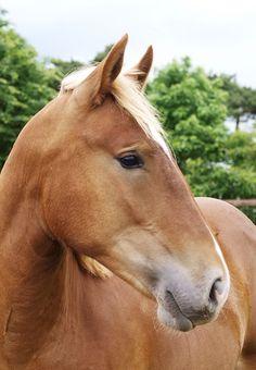 Draft horse (Suffolk Punch)