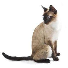 Breed Profile: Siamese