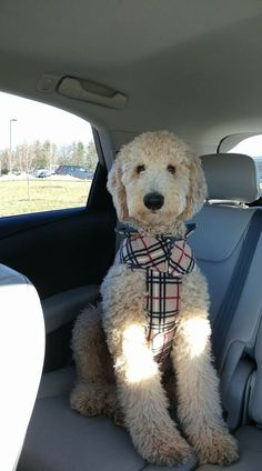 Discover The Eager Poodle Pups Grooming Goldendoodle Haircuts, Goldendoodle Grooming, Dog Haircuts, Poodle Grooming, Dog Grooming, Standard Goldendoodle, Standard Poodles, Cute Puppies, Cute Dogs