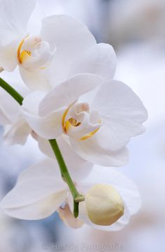 Photo Orchidee by Tina & Horst Herzig Photography Phalaenopsis – Orchidee www. Orchid Arrangements, Beautiful Flower Arrangements, Exotic Flowers, Beautiful Flowers, Birthday Wishes Flowers, Flower Farmer, Japanese Flowers, Orchid Plants, Orchid Care
