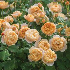 Roald Dahl David Austin Planted June 2016