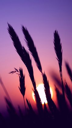 Sunset, purple sky, grass ♥g♥