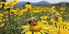 Pčelari u Kantonu Sarajevo i u cijeloj Bosni i Hercegovini imaju veliki problem, jer zbog korištenja fungicida, herbicida i insekticida kojima se zapr...