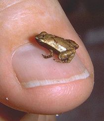 Gold frog