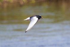 Wisconsinites get rare glimpse of white-winged tern over Lake Michigan.
