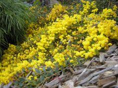 Acacia cultriformis cascade