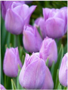 Tiptoe through the tulips . . . .