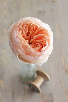 Fleur pour un bouquet de mariée, Rose David Austin. La rose anglaise par excellence, opulente et délicate, superbe dans un bouquet de mariée.