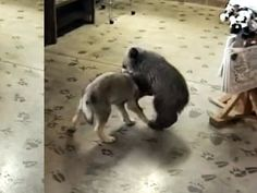 Grizzly cub and wolf cub are best friends