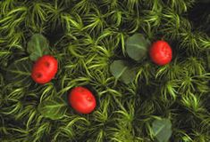 Partridge berries - Native, Evergreen, shade