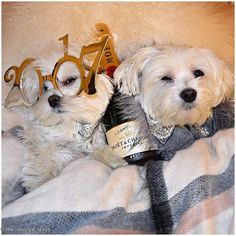 """The morning after......""""This isn't what it looks like! Obi, tell them it was your idea.""""  #hangover #caughtoncamera ▫️ The #oops moment  ▫️ #thedoggiedays #maltese #puppy  #nyc #nye  ▫️ ▫️ #dogoftheday #petstagram #dogsofinstagram #moet #champagne #party #dogstagram #fluffy #white #instadog #newyear #2017 #wine #instafamous #instacute #weekend #happynewyear #doglover #instalife  #fashionista #dog #topdogphoto @dogsofinstagram @dogsandpals @sendadogphoto @topdogphoto @dogsofinstaworld ..."""