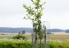 Omenapuun istutus onnistuu, kun taimi on terve, istutuskuoppa riittävä ja puu saa tarvittaessa tukea. Lue Viherpihan vinkit ja istuta oma omenapuu!