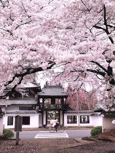 Cherry blossoms at a temple in Sendai, Japan by pon-ko 松音寺の桜 on Flickr.