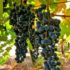Dornfelder: uma variedade de uva tinta, da Alemanha, para surpreender quem acredita que os alemães produzem apenas vinhos brancos!