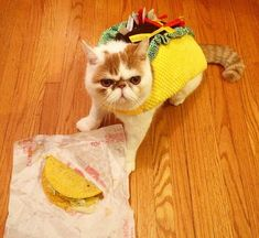 Proof Cats Are Cool Even in Costumes Funny Animal Memes, Funny Cats, Funny Animals, Cute Animals, Cute Cats And Kittens, Kittens Cutest, Big Cats, Flat Faced Cat, Taco Cat