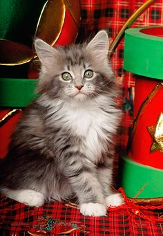 CAT 03 RK0917 01 © Kimball Stock Maine Coon Kitten Sitting By Christmas Drums And Ball