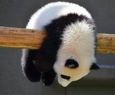 People love Pandas they are like babies. They are cute and cuddly.But do you know that a giant panda is actually a bear. Here are Interesting Fun Facts About Panda You Probably Didn't Know Before. Funny Panda Pictures, Cute Animal Pictures, Baby Pictures, Cute Baby Animals, Animals And Pets, Funny Animals, Wild Animals, Farm Animals, Photo Panda