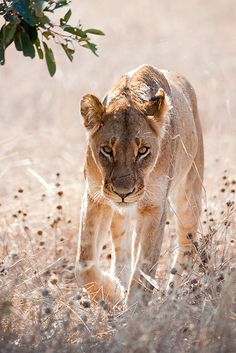 Stalking lion, South Africa Safari