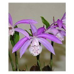 Easy to Garden Orchidee Pleione Formosana ☆ Purple Freiland Orchideen: Amazon.de: Garten