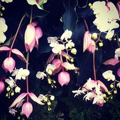 @bergdorfs Reminiscent of Givenchy. #orchidshow at The New York Botanical Garden