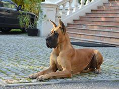 The Noble Great Dane Pups Exercise Needs Harlequin Great Danes, Blue Great Danes, Baby Dogs, Pet Dogs, Dog Cat, Doggies, Weimaraner, Dog Breeds List, Malinois Dog