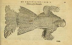Sea monk. Petri Bellonii Cenomani De aquatilibus  Parisiis,Apud C. Stephanum,1553.  Biodiversitylibrary. Biodivlibrary. BHL. Biodiversity Heritage Library